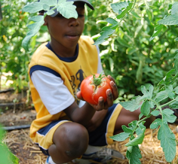 boy picking a tomato